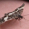 Spear-Marked Black Moth