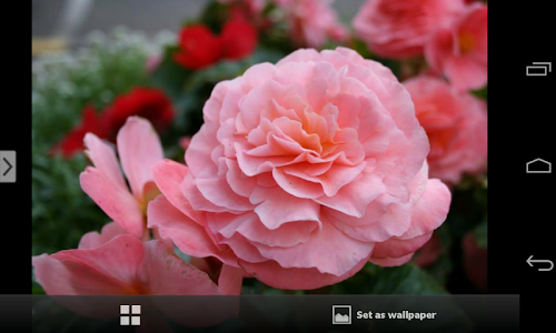 Beautiful Flowers Wallpapers screenshot 17