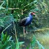 Swamp hen