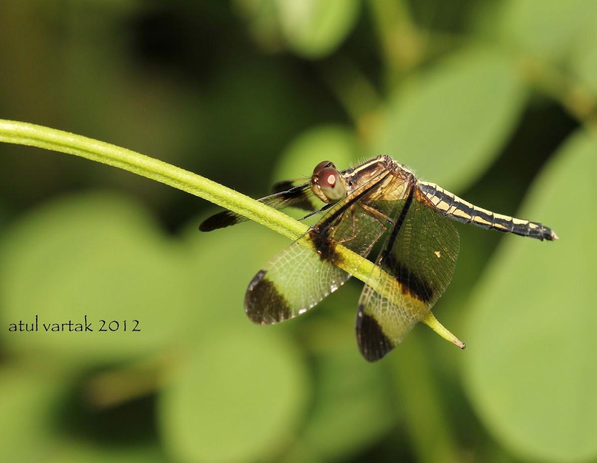 Pied Paddy Skimmer (Female)