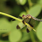 Pied Paddy Skimmer (Female)