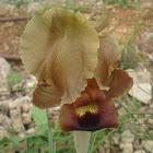 Negev iris (yellow morph)