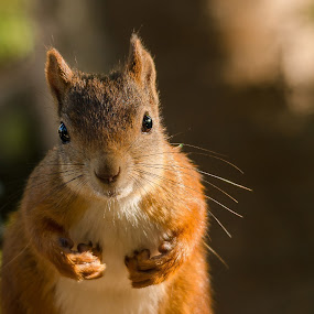 Ekorn/Red squirrel by Rita Birkeland - Animals Other ( wild, wilderness, wildlife, cute, squirrel,  )