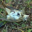 Hermit Thrush (dead) :(