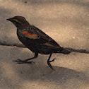 Red-winged Blackbird (Juvenile)