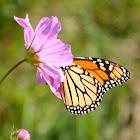 Monarch (female)