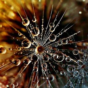 Rebirth Of the Stars by Marija Jilek - Nature Up Close Natural Waterdrops ( water, rebirth, stars, plants, drops, nature up close, natural waterdrops, sonchus asper, seeds )