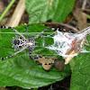 Silver Argiope and Grasshopper
