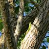 green tree skink
