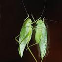 Leaf Katydid,