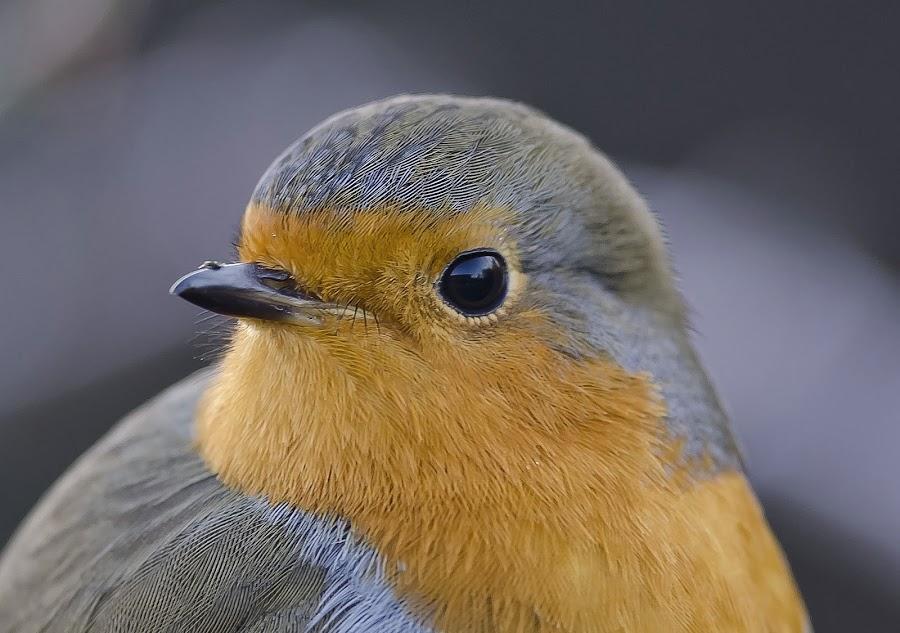 robin by Mark Edwards - Animals Birds (  )