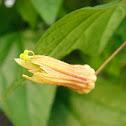 Bud of Passiflora