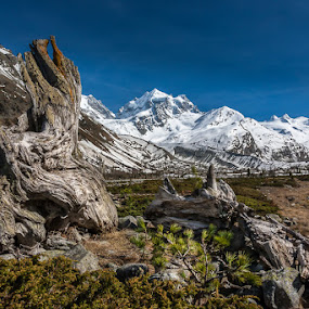 the old larch by Ennio Pozzetti - Landscapes Mountains & Hills ( val roseg, mountains, wood, old tree, switzerland, larch )