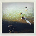 Great Egret with Canadian Geese