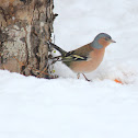 The Common Chaffinch