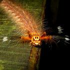 Skull Face Caterpillar