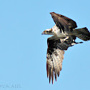 Osprey (with prey)