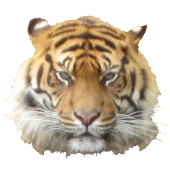 Tiger Head Sticker