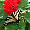 Western Tiger Swallowtail