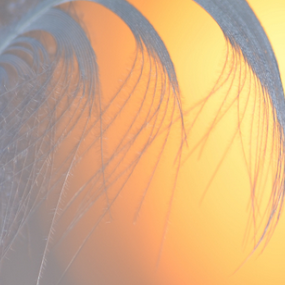 Feather In sunset by Alan Hammond - Abstract Macro ( abstract,  )