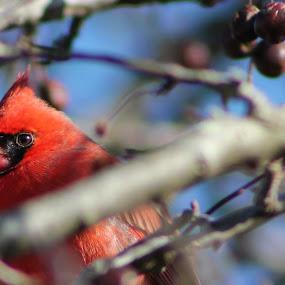 Brown Eyed Male by Andy Bond - Animals Birds ( bird, cardinal, red, wildlife, birds )
