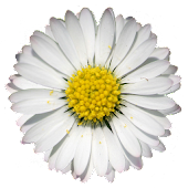 Period Daisy Widget