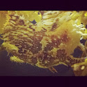 "Sargassum Fish ""frog fish"""