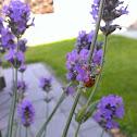 lieveheersbeestje, Seven-spot Ladybird