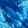 Scrawled Filefish