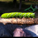 Tobacco hornworm (Carolina sphinx moth)