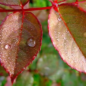 Drops by Gordana Cajner - Nature Up Close Natural Waterdrops (  )