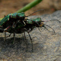 Green tiger beetle mating