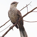 Sabiá-do-campo (Chalk-browed Mockingbird)