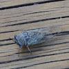 Texas Dog-Day Cicada
