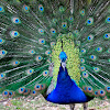 Indian peacock, pavo real
