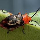 Pittosporum leaf beetle