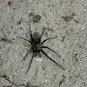 Southern house spider (female)