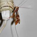 Giant ichneumon wasp (female)