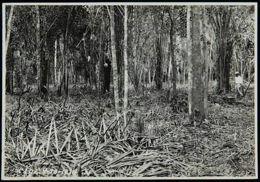 Clearing Jungle for the Belterra Rubber Plantation, Brazil, 1928-1934