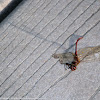 Autumn Meadowhawk dragonfly (male, carcass)