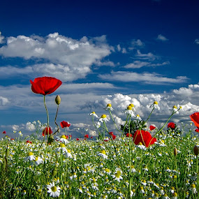 Red poppies by Zoran Rudec - Flowers Flowers in the Wild ( red poppies  clouds fields )