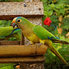 Periquito-rei (Peach-fronted parakeet)