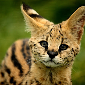 Serval Kitten by Selena Chambers - Animals Other Mammals ( cat, kitten, serval, small cat, serval kitten, , zoowatch, zoo, animals )