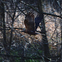 Marsh Harrier - Moták pochop