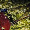 Pond Dancer Damsel
