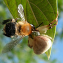 Crab spider and Bee