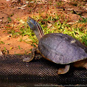 Red-Crowned Roof Turtle