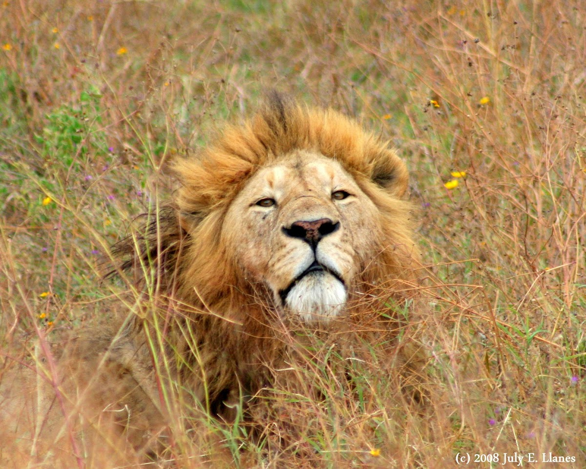 Lions (Ngorongoro Crater)