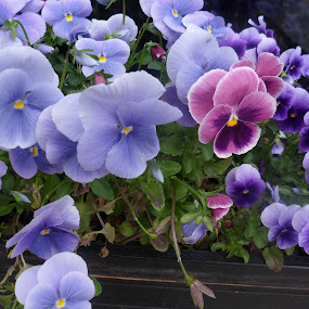 Pansy Fantasy by Anne Santostefano - Flowers Flower Gardens ( purple, nature, gardens, pansies, lavender, flowers, pretty, , colorful, mood factory, vibrant, happiness, January, moods, emotions, inspiration )