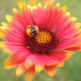 Gaillardia Flower by Donna Bell - Flowers Single Flower